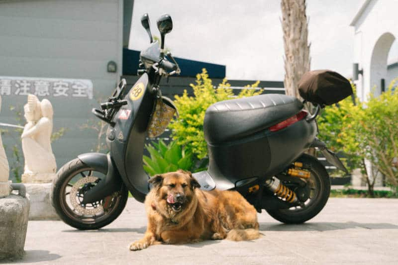 dog with moped for sale